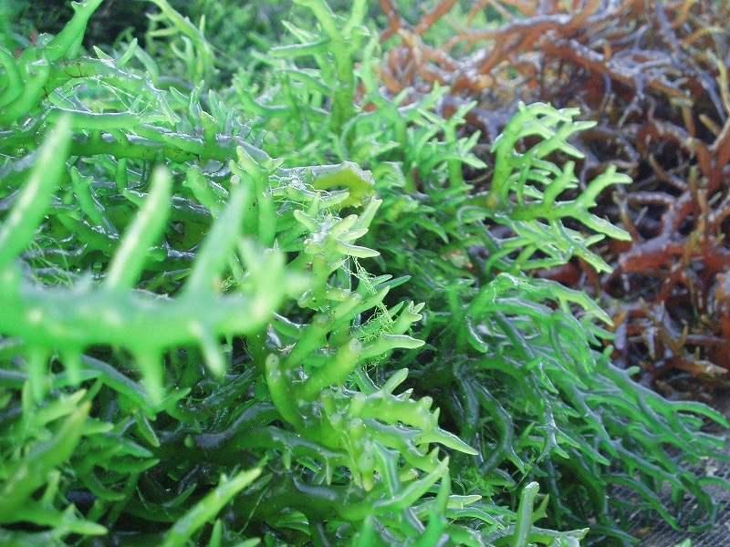 Viên uống Sắc Ngọc Khang vi tảo lục chiết xuất astaxanthin tự nhiên