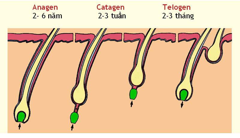 Các giai đoạn phát triển của sợi tóc