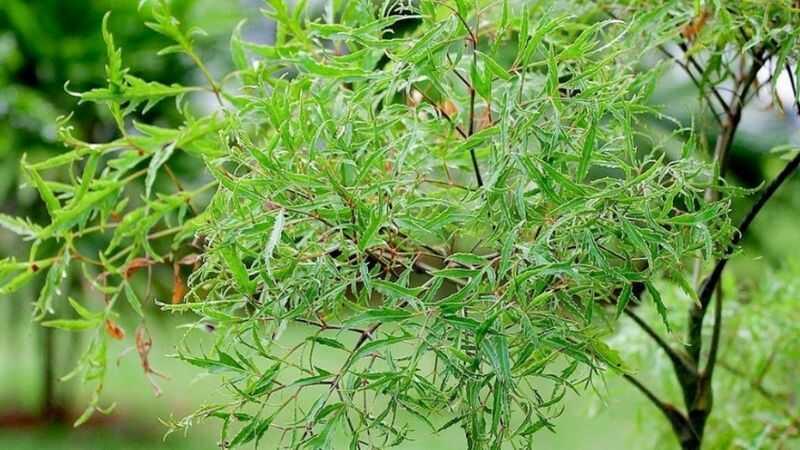 Bài thuốc trị gai cột sống lưng từ cây lá lốt và đinh lăng