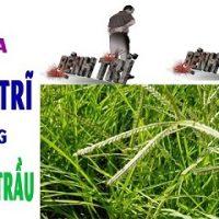 Dùng cỏ mần trầu chữa bệnh trĩ hiệu quả