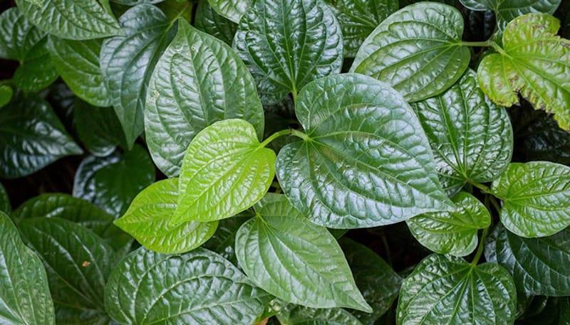 Ngoài là rau ăn, lá lốt còn là một vị thuốc được sử dụng trong điều bị bệnh thoát vị