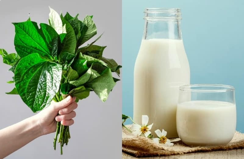 Chữa thoát vị đĩa đệm bằng lá lốt kết hợp sữa tươi là bài thuốc hiệu quả mà ít người biết