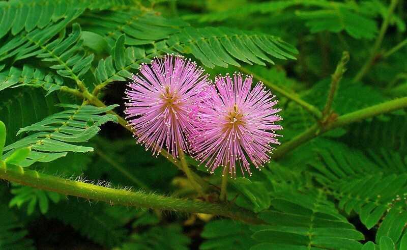 Bài thuốc kết hợp lá lốt với xấu hổ, ngải cứu và cỏ xước chữa thoái hóa đốt sống lưng