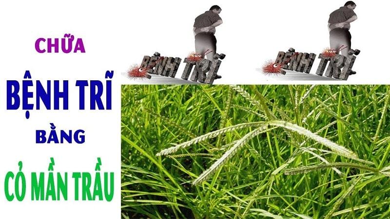 Dùng cỏ mần trầu chữa bệnh trĩ là phương pháp từ lâu đã được áp dụng rất phổ biến