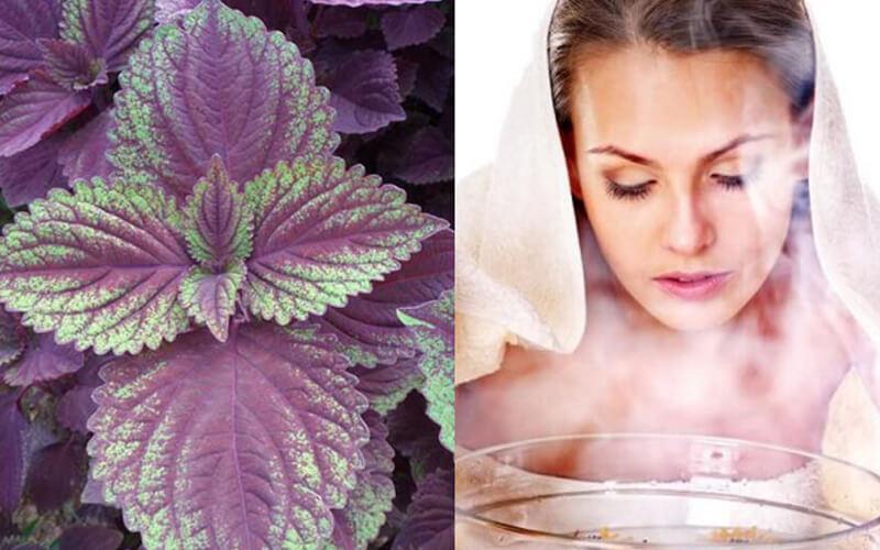 Dùng lá tía tô xông hơi giúp cung cấp thêm độ ẩm cho da, làm sạch da hiệu quả