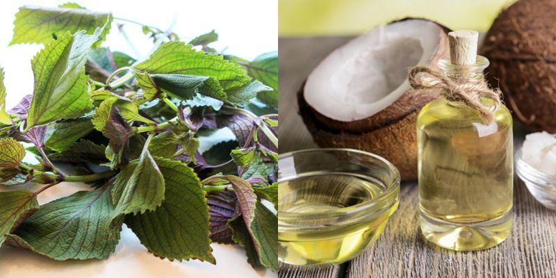 Làm trắng da từ lá tía tô và dầu dừa là phương pháp làm đẹp được nhiều người áp dụng