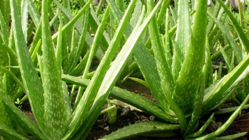 Nha đam có nhiều hoạt chất giúp giảm ợ hơi, ợ chua và viêm loét niêm mạc